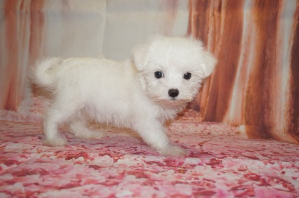 Gucci Male CKC Morkie $1750 Ready 7/14 AVAILABLE 1.6 Lbs 8W5D Old