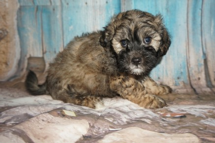 Hamburger Male CKC Shihpoo $1750 Ready 8/3 SOLD! MY NEW HOME IS IN RIDGELAND, SC 3.1LBS 7W2D OLD