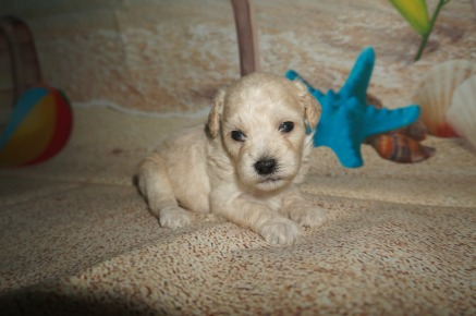 Hot Dog Male CKC Shihpoo $1750 Ready 8/3 AVAILABLE 1.4lbs 3wk2d old
