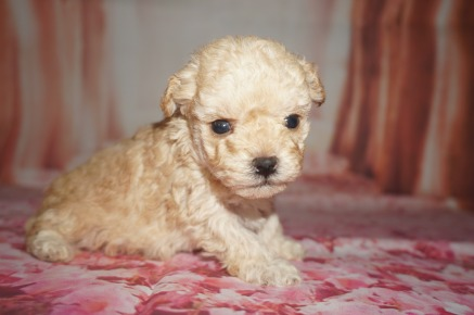 Hubba Babba Male CKC Toy Poodle $2000 Ready 8/15 AVAILABLE 1.3 lb 3W5D Old