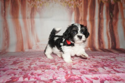 Hunter Male CKC Havashire a/k/a Yorkinese $1750 Ready 7/27 AVAILABLE 2 lbs 5W6D old