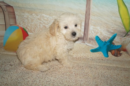 Kristoff Male CKC Shihpoo $1750 READY 7/6 SOLD MY NEW HOME JACKSONVILLE, FL 2.8lbs 7wk1d old