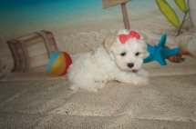 Lucy Female CKC Maltipoo $1750 Ready 7/11 SOLD MY NEW HOME ORMOND BEACH, FL 2.7 LBS 6W4D Old