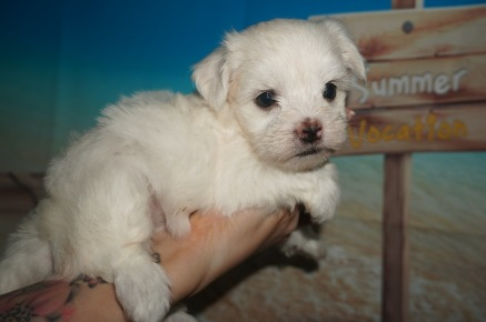 Dior Female CKC Morkie $1750 Ready 7/14 AVAILABLE 1.7 Lbs 6W1D Old