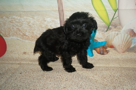 Mac Male CKC Schnoodle $1750 Ready 7/13 HAS DEPOSIT MY NEW HOME JACKSONVILLE, FL 1.10 LBS 6W2D Old