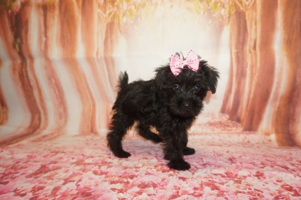 Maggie Female CKC Schnoodle $1750 Ready 7/13 SOLD MY NEW HOME FERNANDINA, BCH, FL 2lbs 8W3D old