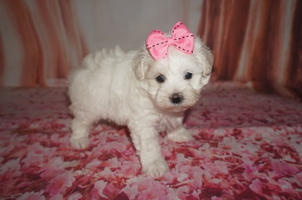 Melody (Lucy) Female CKC Maltipoo $1750 Ready 8/8 HAS DEPOSIT MY NEW HOME JACKSONVILLE, FL 1.15lbs 4W6D OLD