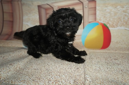 Molly Female CKC Schnoodle $1750 Ready 7/13 HAS DEPOSIT MY NEW HOME JACKSONVILLE, FL 2 LBS 6W2D Old