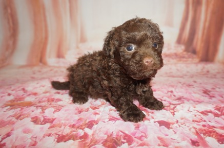 Mork Male CKC Morkipoo $2000 Ready 8/8 AVAILABLE 1.3 lbs 5WKS Old
