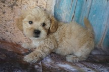 Nacho Male CKC Shihpoo $1750 Ready 8/3 SOLD MY NEW HOME ST JOHNS, FL 2.8LBS 7W2D OLD