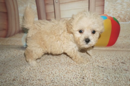 Olaf Male CKC Shihpoo $1750 Ready 7/6 SOLD MY NEW HOME ATLANTA, GA 1.7lbs 7wk1d old