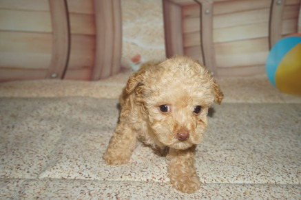 Peanut Female CKC Maltipoo $2000 Ready 3/30 SOLD MY NEW HOME PONTE VEDRA BEACH, FL 1.7 LBS 7W2D old
