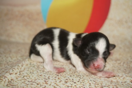 Pickles Female CKC Maltipoo $1750 Ready 9/3 AVAILABLE 4.8 oz 1 Day Old
