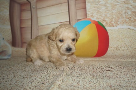 Pizza Male CKC Shihpoo $1750 Ready 8/3 AVAILABLE 1.1lbs 3wk2d old