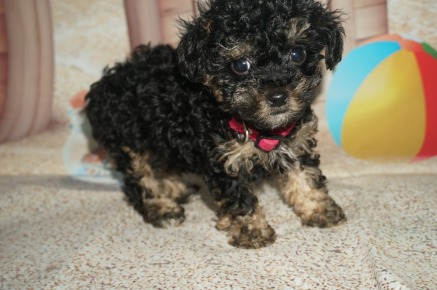Sadie Female CKC Maltipoo $1750 Ready 3/30 SOLD MY NEW HOME JACKSONVILLE, FL 1.5 lb 7W2D old