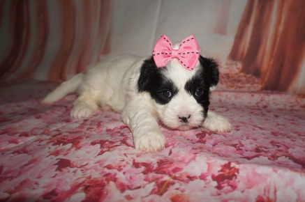 Sporty Spice Female Teddy Bear A/K/A Shichon $1750 Ready 8/8AVAILABLE 2.13 lbs 4W5D old