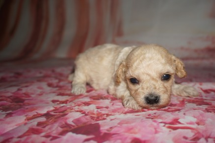 Syndey Male CKC Maltipoo $1750 Ready 8/20 AVAILABLE 14.5 oz 3WKS Old
