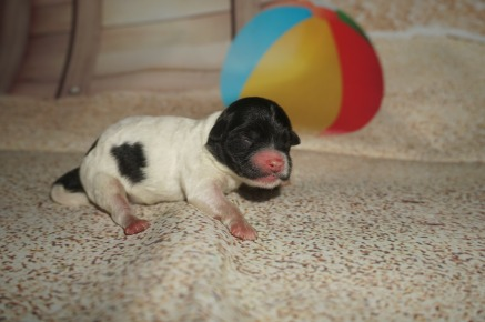 Tiana Female CKC Shihpoo $1750 AVAILABLE 5.1 oz 1 Day Old