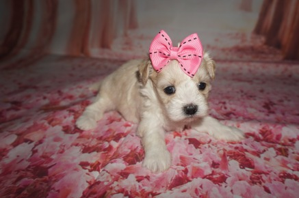 Violet Female CKC Maltipoo $1750 Ready 8/13 AVAILABLE 1.5 lbs 4 Wks Old