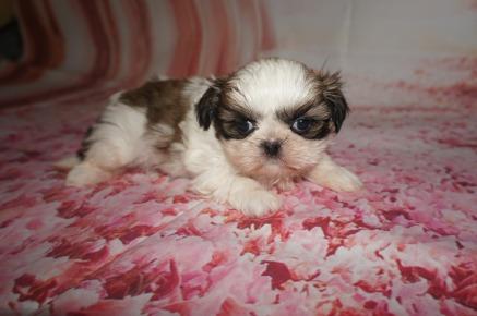 Imperial Shih Tzu Tlc Puppy Love
