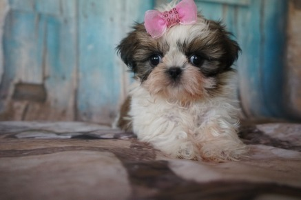 Waffles Female CKC Shih Tzu SOLD MY NEW HOME OCALA, FL 1.8LBS 7w1d OLD