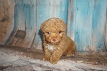 Big Red Male CKC Toy Poodle $2000 Ready 8/15 SOLD MY NEW HOME JACKSONVILLE, FL 15.7oz 5W4D old