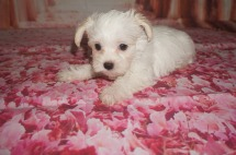 Chanel Female CKC Morkie $2000 DISCOUNTED $1750 Ready 7/14 SOLD MY NEW HOME JAX, FL 2lbs 8W2D old