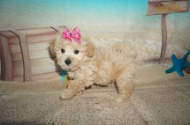 Elsa Female CKC Shihpoo $1750 Ready 7/6 SOLD MY NEW HOME CHARLESTON, SC 1.10 lbs 7W2D old