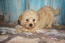 Elvis Male CKC Shihpoo $1750 Ready 8/10 SOLD MY NEW HOME JACKSONVILLE, FL 3.2lbs 6W2D old
