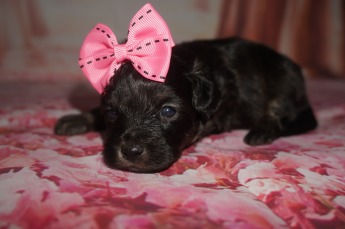 Espresso Female CKC Malshipoo $1750 Ready 8/20 AVAILABLE 1.3 lbs 3W2D Old