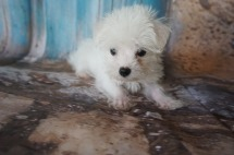Gucci Male CKC Morkie $2000 DISCOUNTED $1500 Ready 7/14 HAS DEPOSIT MY NEW HOME JACKSONVILLE, FL 1.12lbs 10W3D old