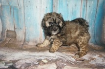 Hamburger Male CKC Shihpoo $1750 Ready 8/3 SOLD MY NEW HOME IS IN RIDGELAND, SC 3.1LBS 7W2D OLD