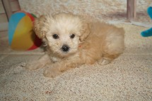 Hans Male CKC Shihpoo $1750 Ready 7/6 SOLD MY NEW HOME OVIEDO, FL 1.10lbs 7wk1d old