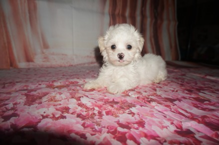 LoLo Female Havanese $1750 Ready 7/20 AVAILABLE 1.15 lb 7W2D Old