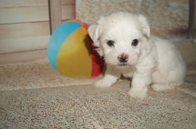 LULU Female Havanese $1750 Ready 7/20 AVAILABLE 1.7 lb 5W2D Old