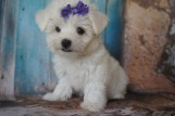 LULU Female Havanese $1750 Ready 7/20 SOLD MY NEW HOME IS PONTE VEDRA, FL 2.1lbs 9W3D old