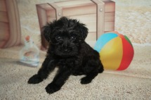 Mac Male CKC Schnoodle $1750 Ready 7/13 SOLD MY NEW HOME JACKSONVILLE, FL 1.10 LBS 6W2D Old