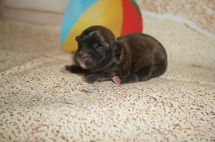 Mercedes Female CKC Malshipoo $1750 Ready 9/3 AVAILABLE 6 oz 6 Hours Old