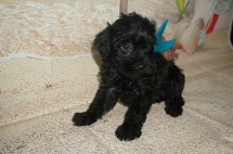 Micah Male CKC Schnoodle $1750 Ready 7/13 SOLD MY NEW HOME FLEMIMG ISLAND, FL.15 LBS 6W2D Old