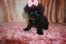 Milly Female CKC Schnoodle $2000 DISCOUNTED $1750 Ready 7/13 SOLD MY NEW HOME JACKSONVILLE, FL 1.10 lbs 8W3D old