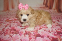 Mindy Female CKC Morkipoo $2000 Ready 8/8 AVAILABLE 1.10 lbs 5WKS Old