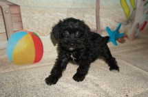 Molly Female CKC Schnoodle $1750 Ready 7/13 SOLD MY NEW HOME JACKSONVILLE, FL 2 LBS 6W2D Old