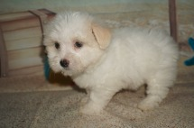 Nina Female Havanese $1750 Ready 6/29 SOLD MY NEW HOME JACKSONVILLE, FL 2.10 lbs 8W2D Old
