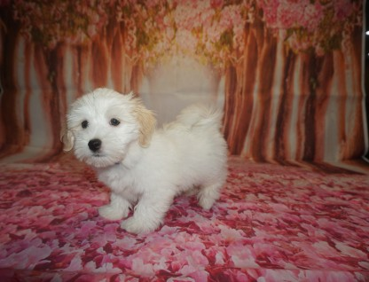 Nino Male Havanese $1750 Ready 6/29 JUST BECAME AVAILABLE AGAIN 10W2D old