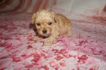 Orbit Male CKC Toy Poodle $2000 Ready 8/15 AVAILABLE 1 lb 3W5D Old