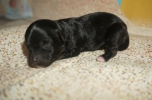 Pepper Male CKC Maltipoo $1750 Ready 9/3 AVAILABLE 5.2 oz 1 Day Old