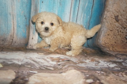 Pizza Male CKC Shihpoo $1750 Ready 8/3 SOLD MY NEW HOME JAX BEAC H, FL1.12LBS 7W2D OLD