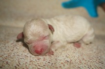 Prince Naueen Male CKC Shihpoo $1750 AVAILABLE 4.6 oz 1 Day Old