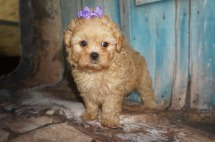 Priscilla Female CKC Shihpoo $2000 Ready 8/10 SOLD MY NEW HOME JAX, FL 2.14lbs 6W2D old