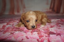 Rio Male CKC Maltipoo $2000 Ready 8/20 AVAILABLE 3 WKS Old